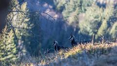 Schwarzwaldgämsen (dominikressing) Tags: antilope berg gemse ort schwarzwald silberberg säugetier tier todtnau badenwürttemberg deutschland de
