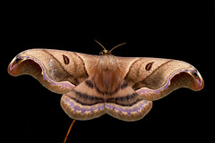 Mariposa / Moth - Caio romulus - Saturniidae (Almir Cândido de Almeida) Tags: mariposa moth lepidoptera inseto insecta aiuruoca mg saturniidae saturnideo caio romulus