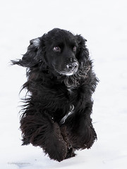 5/52 - Sammy 2017 (conniegavin12) Tags: 52weeksfordogs fieldspaniel dog snow spaniel pet