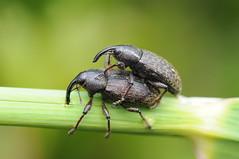 Weevils II (-denju-) Tags: macro insect diy flash handheld diffuser weevil raynoxdcr250 rüsselkäfer tamron90mm28 meikemk300