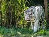DB-21'w (1% busy; 99% lazy ...) Tags: canon zoo photograph felines bigcats naturejewels beautifulandwild