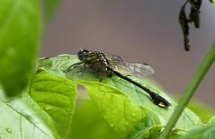 Cobra Clubtail (Gomphus vastus) Male