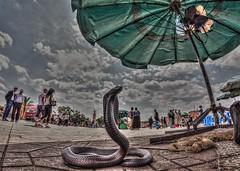 Cobra, Jamaa El-Fna, Marrakesh (D-W-J-S) Tags: cobra snake morocco marrakech marrakesh charmer jamaaelfna elfna jamaa