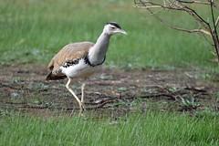 Australian Bustard_2512E (Neil H Mansfield) Tags: bird nature victoria geelong bustard australianbustard ardeotisaustralis