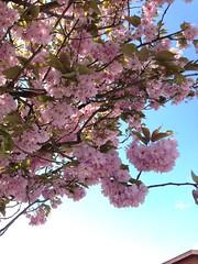 134/365 Cherry blossom