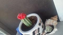 Various trichocereus I'm growing. (Last cretin) Tags: cacti succulents monstrose