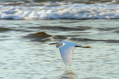 Flight in White (lugeralfes) Tags: morning bird beach elsalvador lapaz casamarina