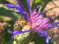 The common wasp... Vespula Vulgaris