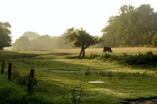 Rinder in Norderstapel - Galloways; Stapelholm (7)