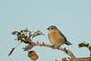 DSC_9437.jpg Western Bluebird, UCSC Farm (ldjaffe) Tags: ucscfarm westernbluebird