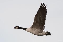 Canada goose (Shane Jones) Tags: canadagoose goose wildfowl wildlife nature bird birdinflight nikon d500 200400vr tc14eii