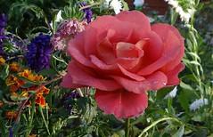 Rose (Gartenzauber) Tags: floralfantasy doublefantasy contactgroups photopassion
