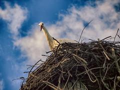 IMG_2385 curious stork (pinktigger) Tags: stork cigüeña storch cicogne ooievaar ciconiaciconia cicogna cegonha bird nature fagagna feagne friuli italy italia oasideiquadris animal outdoor nest