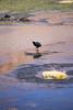 IMG_3650 (FelipeDiazCelery) Tags: sanpedro sanpedroatacama sanpedrodeatacama desierto altiplano atacama andes chile fauna aves valledelaluna