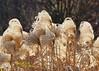 "MAGIC HOUR Landscape (3 of 3) in Late Autumn/Fall at Duke Farms of Hillsborough NJ (takegoro) Tags: ""duke farms"" ""nature preserve"" nature hillsborough ""new jersey"" fall autumn landscape meadow grass native ""magic hour"" ""golden sunset"
