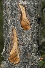 particolare di corteccia di conifera, detail of a conifer's bark (paolo.gislimberti) Tags: macro alberi trees