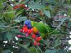 Rainbow Lorikeet (James_Preece) Tags: rainbowlorikeet psittaculidae trichoglossus moluccanus trichoglossusmoluccanus panasonicdmcgx8 m43 leicadg100400f4063
