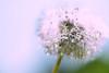 dandelion spores (daniel0027) Tags: nature morningdew dewdrop dew bright spores dandelionspores dandelion pissenlit taraxacumplatycarpumdahlst pc
