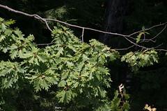 7758 Red Oak (vtbirdhouses) Tags: redoak tree