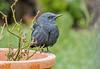 DSC9776 Blue Rock Thrush.. (jefflack Wildlife&Nature) Tags: bluerockthrush thrushes thrush vagrant birds avian animal wildlife wildbirds woodlands gardenbirds songbirds countryside nature cotswolds