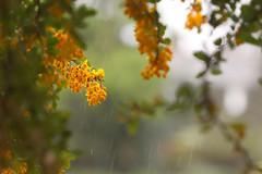 Rain in the garden (Wilamoyo) Tags: flickr rain garden seasons spring pretty nature flowers orange bokeh blur tree bush