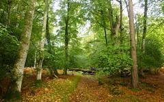 New Forest NP, Hampshire, England (east med wanderer) Tags: england uk hampshire dennywood lyndhurst newforestnationalpark trees woodland forest oak beech holly worldtrekker
