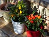 Scharfe Paprika * Hot Chili Pepper * Guindillas picantes *    . P1330616-001 (maya.walti HK) Tags: 2016 copyrightbymayawaltihk flickr gelb guindillaspicantes hotchillipeppers panasoniclumixfz200 peperoncini pflanzen plantas plants rot scharfepaprika 271216