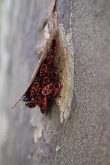 firebug orgy (Sam Turner) Tags: firebug bug insect pyrrhocoridae france 2016 olympusep1