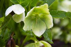 IMG_3139.jpg (Ivo Konopac AE) Tags: 2011 a1 beskydy flickr kvety ostravice plant rostlina velikonoce vylet