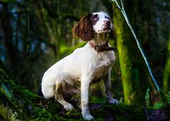 Rupert posing (TrevKerr) Tags: dog pet puppy animal spaniel springer englishspringerspaniel nikon d7000 70210f28 portrait