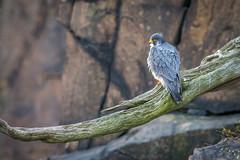 Cliff Hanger (PhillymanPete) Tags: statelinelookout birdofprey habitat perch bird falcoperegrinus wildlife nature palisadescliffs raptor peregrinefalcon falcon alpine newyork unitedstates us nikon d7200
