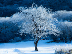 frost-covered tree (chikuma_riv) Tags: japan nature landscape river lake mountain forest flower sunset sunrise spring summer autumn winter leaves