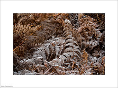 Hard Frost and Bracken (John Penberthy LRPS) Tags: d750 flowersandplants johnpenberthy nikon richmond richmondpark bracken fern frost monochrome 3365 365the2017edition 3652017 day3365 3jan17