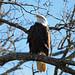 Bald Eagle at Mingo National Wildlife Refuge in Missouri