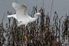 _C7D3514 (matxutca (cindy)) Tags: livermore california nature bird egret flight landing marsh
