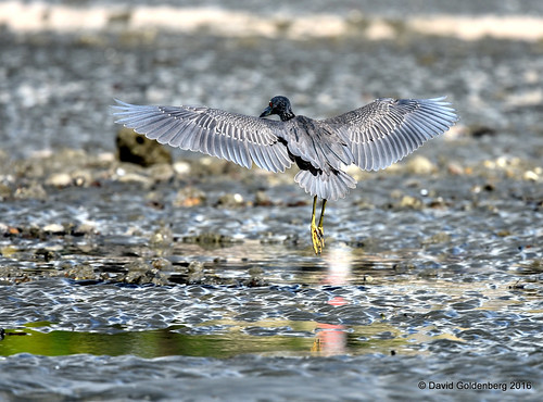 yellow crested night heron in flight