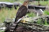 2013-09-25 Cooper's Hawk (1024x680) (-jon) Tags: anacortes skagitcounty skagit washingtonstate salishsea pugetsound marchpoint bird raptor hawk pacificnorthwest winter d90archives a266122photographyproduction coopershawk accipitercooperii immature