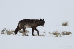 Black wolf! (Stefano Franceschetti) Tags: wolf blackwolf lupo lobo lupus canislupus cacciafotografica stefanofranceschetti yellowstone