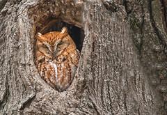 Eastern screech owl - red morph: Megascops asio (Explored) (renzodionigi) Tags: aves strugiformes strgidae megascops assioloamericanoorientale