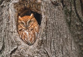 Eastern screech owl - red morph: Megascops asio (Explored)