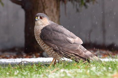 Sharp-shinned Hawk with Common Starling (brian.bemmels) Tags: accipiter striatus accipiterstriatus sturnus vulgaris sturnusvulgaris richmond bc canada sharpshinnedhawk