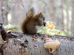 Squirrel in Alberta (kevinmklerks) Tags: alberta rocky mountains kootenay kootney plains lake abraham falls forest floodplain siffleur