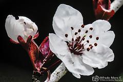 Primeras flores del Pruno, también  el Ciruelo mirobolano, Ciruelo-cerezo o ciruelo de jardín (Prunus cerasifera, (Esmerejon) Tags: primerasfloresdelpruno tambiénelciruelomirobolano ciruelocerezoociruelodejardínprunuscerasifera 11022017 invierno primavera flores flor naturaleza floresblancas