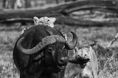 lion (PHILCABA) Tags: buffle chasse kenya lion panthéraléo
