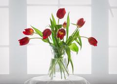 tulips (Emma Varley) Tags: tulips red vase window blind highkey white glass lace flowers indoor stilllife jug