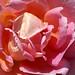 Albania-02695 - Albanian Rose...