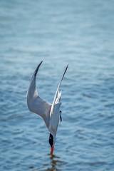 BreakingThePlane (jmishefske) Tags: park beach water june wisconsin fishing nikon grant diving lakemichigan caspian tern 2015 southmilwaukee d800e