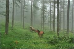 Al galope (Solasaga) Tags: niebla pinar yeguas galope solasaga