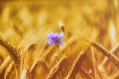 Kornblume - Cornflower (Delbrücker) Tags: flower nature lights licht bokeh outdoor natur pflanze blume sonne kornfeld nikond610