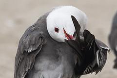 Playa del Rey, CA: Heerman's Gull in a Twist (donna lynn) Tags: california beach june losangeles nikon gulls d750 playadelrey 2015 laridae ordercharadriiformes larusheermanni heermansgull
